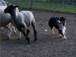 Noni herding 1web.jpg