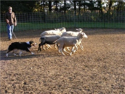Noni herding 2web.jpg